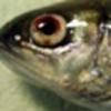 diseased salmonid